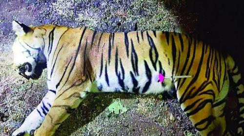 Is India turning into a death bed for the last remaining South Asian tigers?