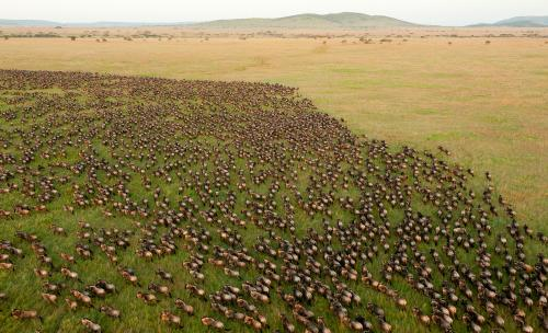 From Australia to Africa, fences are stopping Earth's great animal migrations