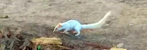 First leucistic five-striped palm squirrel found in North India