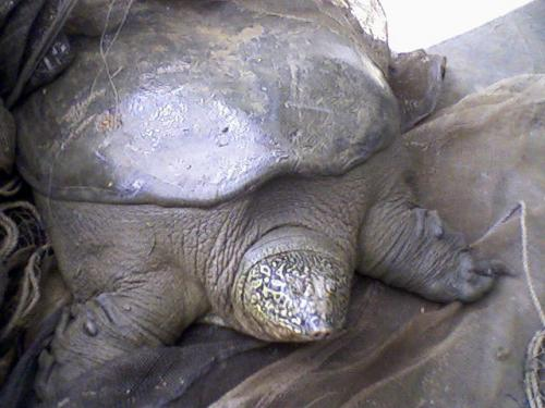 Another species extinct: This time the Yangtze giant soft shell turtle