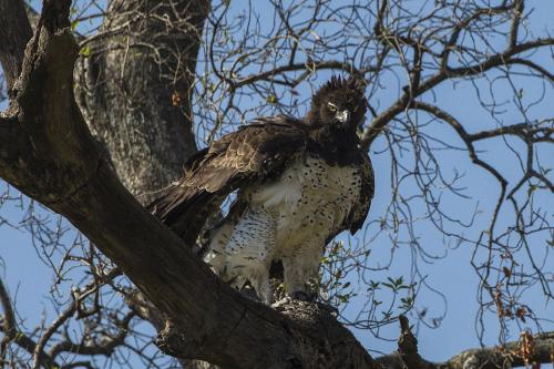 How Google images helped us pin down the diet of Africa's largest eagle