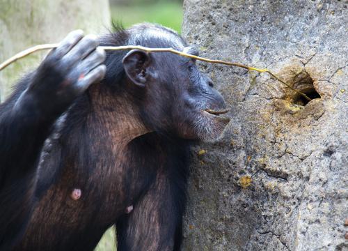 इंसानों के कारण व्यवहार बदल रहे हैं चिम्पांजी