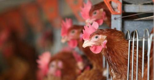 Are new draft rules on antibiotics in poultry enough?