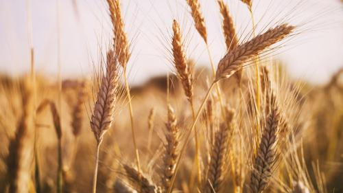 Wheat varieties susceptible to new strains of yellow rust fungus: study