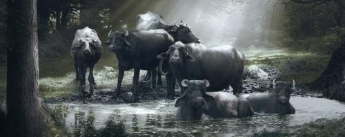 India has a failed salvation policy on the not-so-holy buffalo