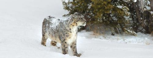 Study finds pathogens in wild snow leopards