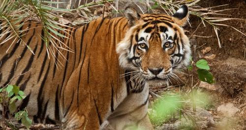 Sariska tiger died due to heatstroke, cancer: Autopsy report