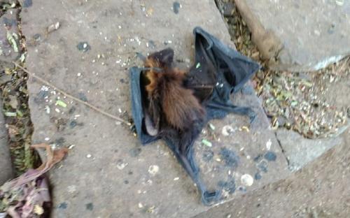 निपा या हीट वेव: मध्य प्रदेश में क्यों मर रहे हैं हजारों चमगादड़