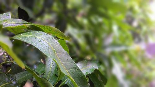 Mango leaf extract can prevent steel from corroding: Study