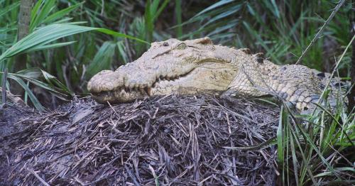 At least 103 saltwater crocodile nests counted in Odisha's Bhitarkanika this year
