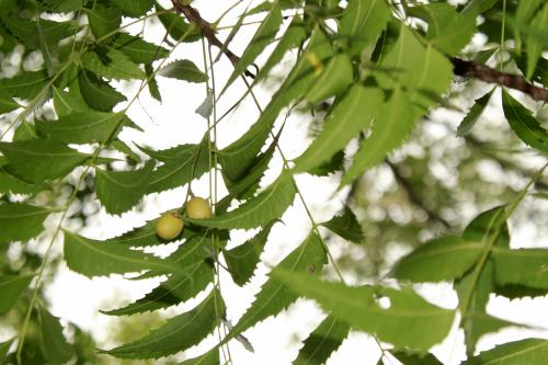 Neem chemical can disable cotton pest in multiple ways: Study