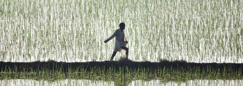 Haryana tries to dissuade farmers from growing paddy, most remain sceptical
