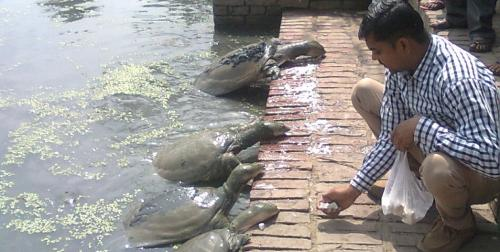 Kanpur's Kurmas: This pond in the heart of the city is a turtle haven