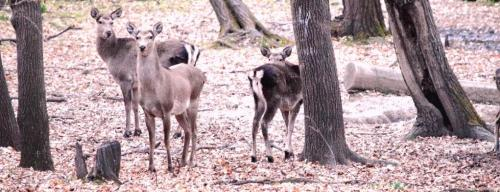 Challenges galore for Monarch of the Glen: Hangul fawn-hind ratio touches lowest-ever level