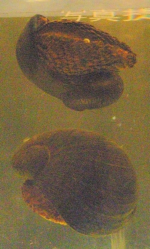 A scaly-foot snail. Photo: Wikimedia Commons