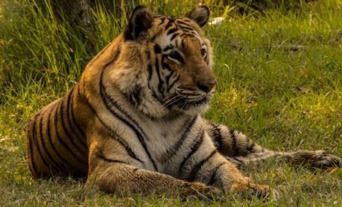 भारत में बाघों की संख्या 2967 हुई, मध्यप्रदेश में सबसे अधिक