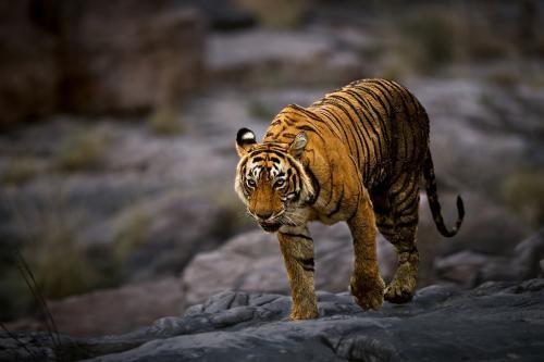 पलामू में बाघ के होने की उम्मीद अभी बाकी, जारी आंकड़ों पर संदेह
