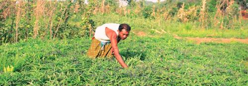This Odisha tribe grows 20 crop varieties without jeopardising biodiversity