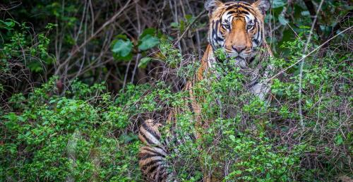 Healthy reserves key for tiger conservation