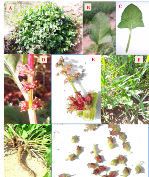 A collage of photos showing the Spiny Emex weed. 'A' shows the Emex Australis weed. 'B' shows the ventral view of the leaf. 'C'  shows the dorsal view of the leaf. 'D' and 'E' show the twig showing male (on upper portion) and female flower (on lower portion). 'F' shows the vegetative state of E Australis in wheat crop. 'G' shows the tap root of the weed and 'H' shows flowers with leathery stigma. Photo: Virendra Kumar