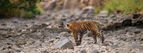 Centre interviews official named in tiger poaching probe for WII directorship
