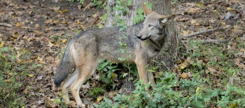 Red wolf: A canid's cautionary tale