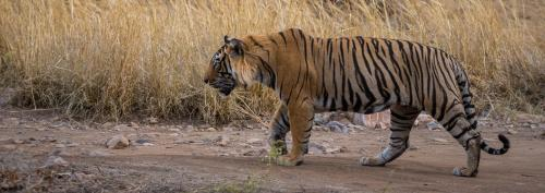 124 tigers poached every year for 18 years in Asia: Report