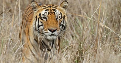 Bihar's Valmiki Tiger Reserve to get more grassland cover