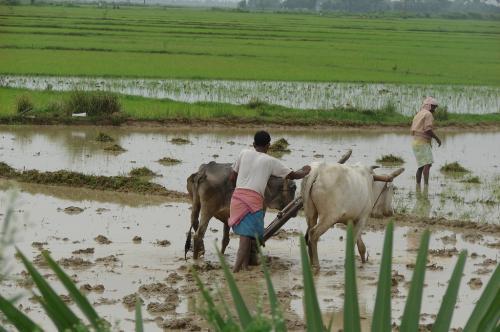 20 लाख हेक्टेयर क्षेत्र में कम हुई धान की बुआई, बिहार-बंगाल सबसे पीछे
