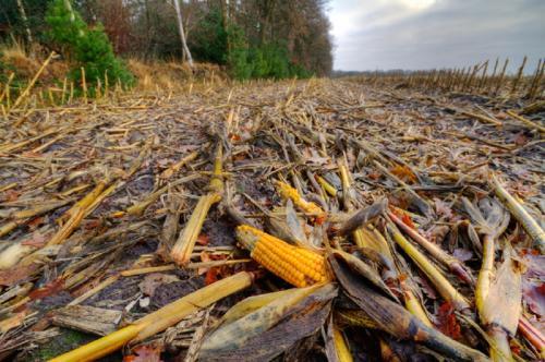 पानी से आर्सेनिक हटाने में मददगार हो सकते हैं कृषि अपशिष्ट
