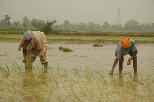 एक तिहाई भारत में कम हुई बारिश फिर भी नहीं घटा धान का मोह