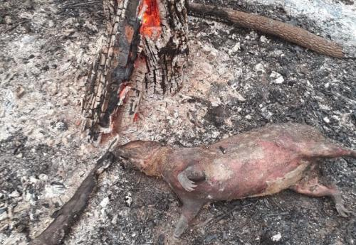 The recent Amazon fires, which devastated huge swathes of the world's largest rainforest, took a toll on the ecosystem's animal life like this dead pig in the municipality of Lucas do Rio Verde on August 20. Photo: Corpo de Bombeiros Militar do Estado de