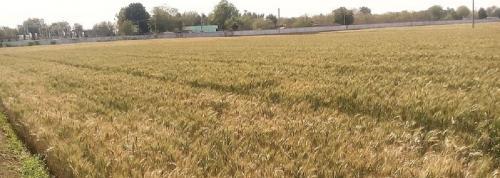 Govt hikes Rabi crops' MSP minimally