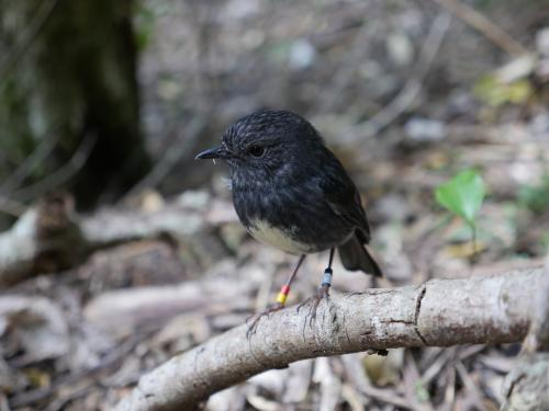 A small New Zealand songbird that hides food for later use provides insights into cognitive evolution
