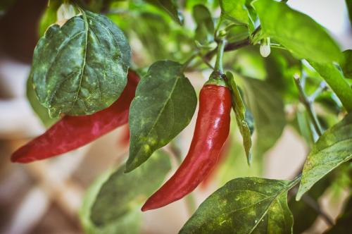 Indian scientists find a way to enhance fat-burning capacity of chilli