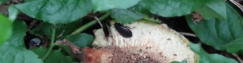 'Cockroach milk is rich in proteins, fat and sugar'