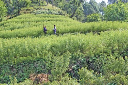 Himachal farmers have an affair with flowers