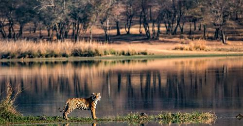 Tiger numbers fine but vegetation declining in tiger reserves, warns study