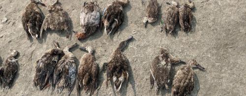 Avian botulism killed 18,000 birds at Sambhar: Govt report