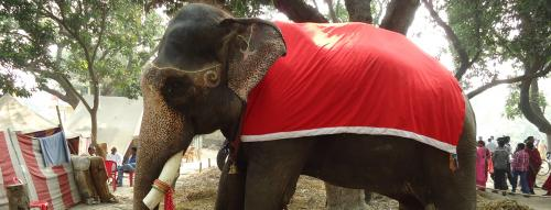 Stop displaying elephants at the Sonepur fair