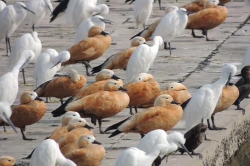 उत्तराखंड-हिमाचल की सीमा पर बनी आसन झील में विदेशी पक्षियों ने डाला डेरा
