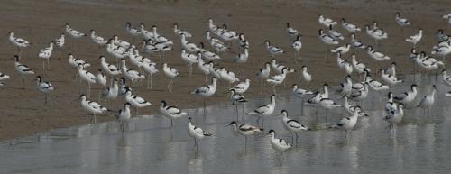 1 million migratory birds counted at Odisha's Chilika lake