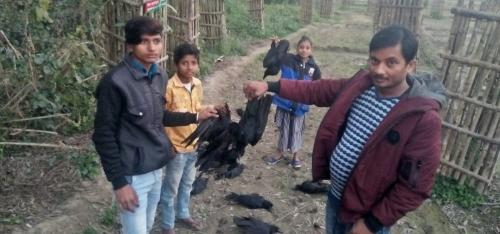 Crows drop dead eating insects killed by pesticides in Bihar's Purnea
