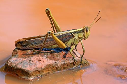 Locust attack: How swarms pose a threat to Indian farmers