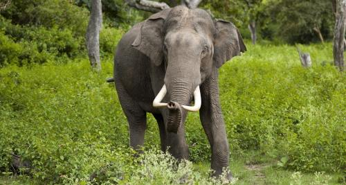 The Conference of Whole (COW) at the ongoing 13th Conference of Parties of the Convention on Conservation of Migratory Species of Wild Animal (CMS) in Gandhinagar proposed to include 10 species, including the Indian/Asian elephant in Appendix I and II of