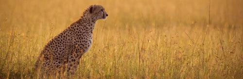 Cheetah reintroduction project comes up at CMS CoP 13