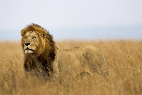 शेरों की आबादी का सही आकलन करने के लिए नई विधि, संरक्षण में मिल सकती है मदद