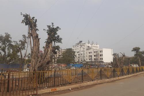 पटना में सूखने लगे ट्रांसलोकेट किए गए पेड़