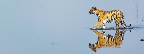 How Maharashtra's dam on 'Human' river threatens tigers