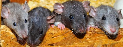Bihar opposition, state government use rats to trade charges over corruption cases